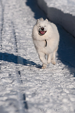 Samoyed-Hund im Winter