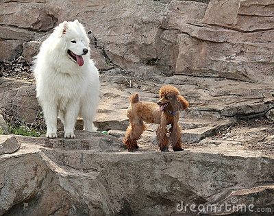 Samoyed and poodle