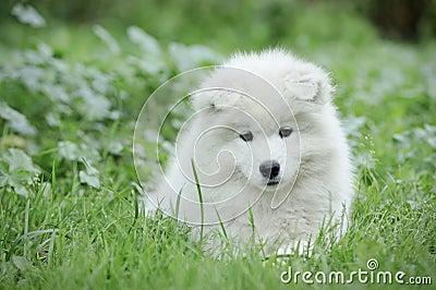 Samoyed puppy portrait