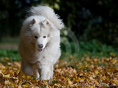 Samoyed on the run