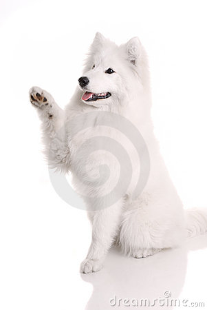 Samoyed s dog