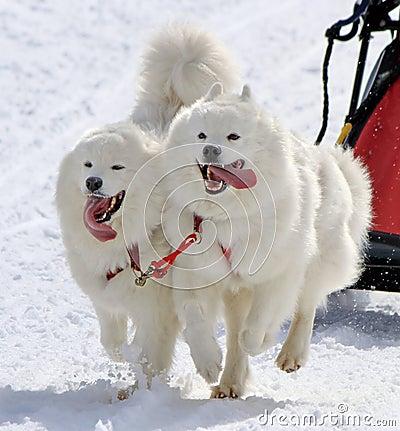 Samoyed sled dog team at work