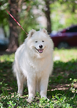 Samoyed standing on a grass