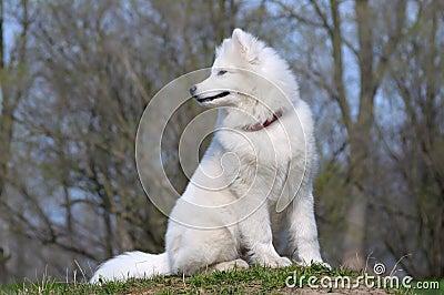 Samoyedhund