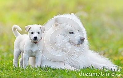 Samoyedhund och vit valp