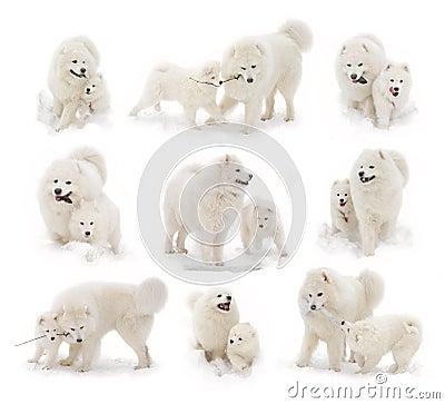 Samoyedhund und Samoyedwelpe
