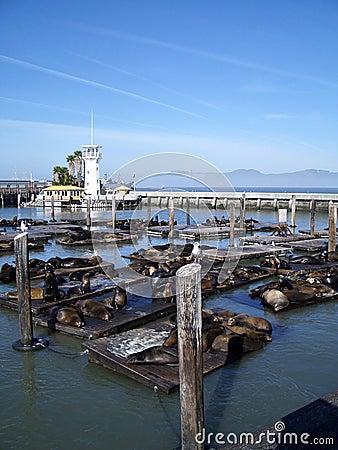 San francisco bay sea lions