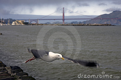 San Francisco Golden Gate Bridge and a seagull