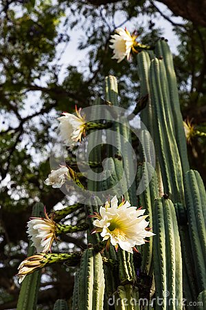 Free San Pedro Cactus Royalty Free Stock Photos - 139424188