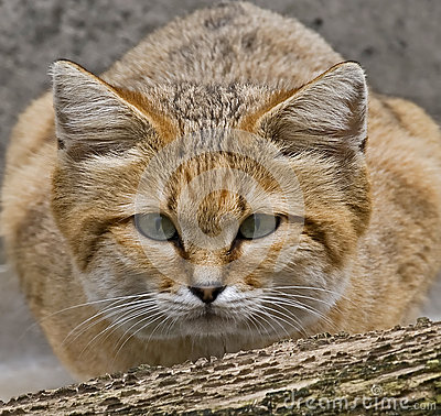 Free Sand Cat 1 Stock Photography - 29826752