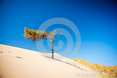 Sand dunes and pine tree