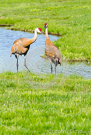 Free Sand-hill Crane Couple Stock Photo - 43694270