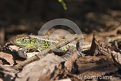 Sand lizard 3