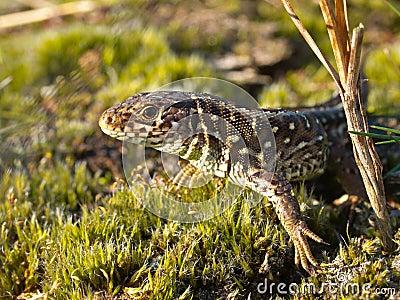 Sand lizard portrait