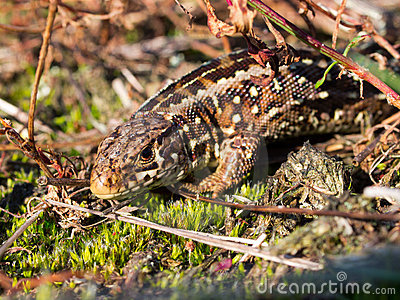 Sand lizard portrait up