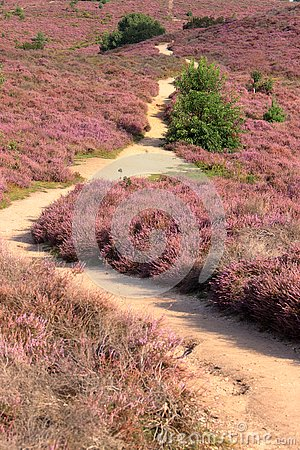 Sand path through a field of purple coloured blooming heather
