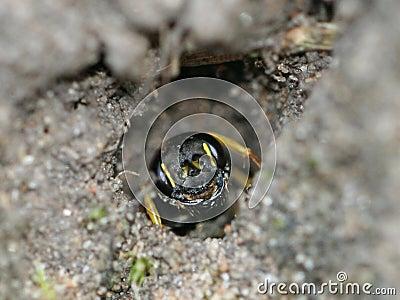 Sand Tailed Digger Wasp (Cerceris arenaria)