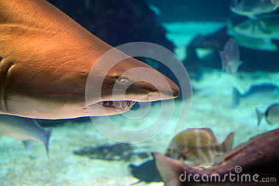 Sand tiger shark above peaceful fishes