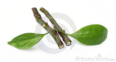 Sandalwood leaves with twigs