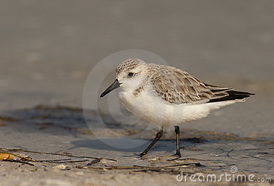 Sanderling Shorebird
