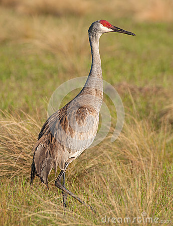 Free Sandhill Crane Royalty Free Stock Photography - 40647307