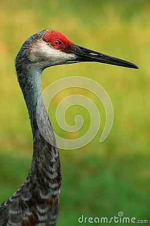 Free Sandhill Crane Royalty Free Stock Image - 530996