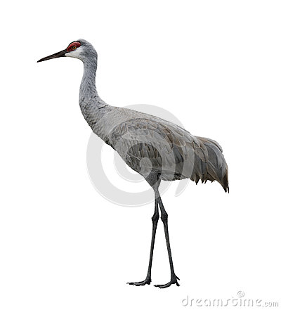 Free Sandhill Crane Bird Stock Photo - 36483910