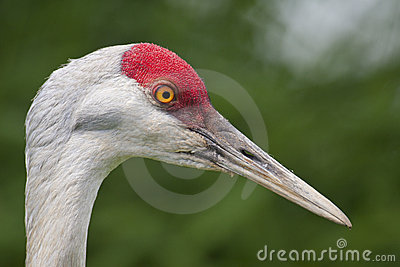 Sandhill crane close-up