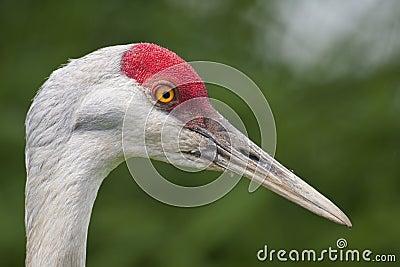 Sandhill crane close-up