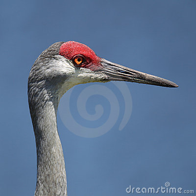 Free Sandhill Crane Portrait Royalty Free Stock Photo - 23511835