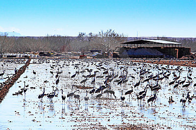Sandhill Cranes in Irrigated Field