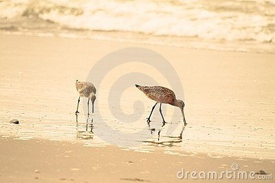 Sandpiper on beach