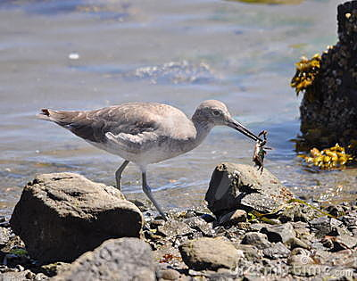 Sandpiper with Crab