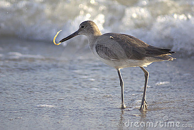 Sandpiper eating on the shore