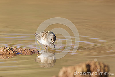 Sandpiper Feeding in Pond