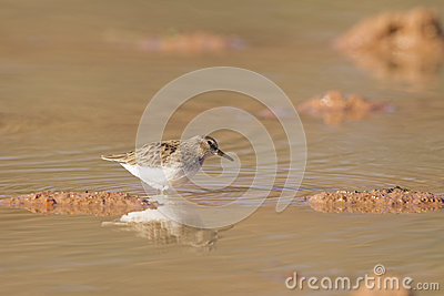 Sandpiper in Pond