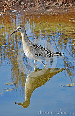 Sandpiper Portrait Stock Images - Image: 26575274