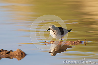 Sandpiper Reflected in water