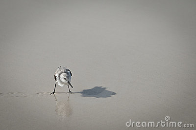Sandpiper Shadow & Reflection