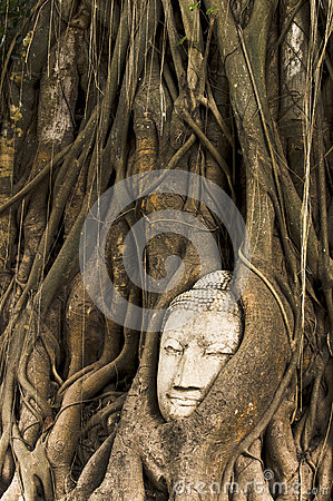 Sandstone Buddha head overgrown by Banyan Tree