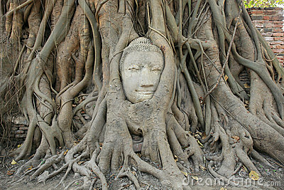 Sandstone Buddha head within tree root