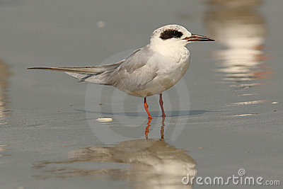 Sandwich Tern - Cumberland Island