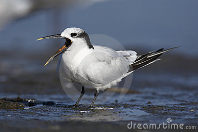 Sandwich Tern with open beak