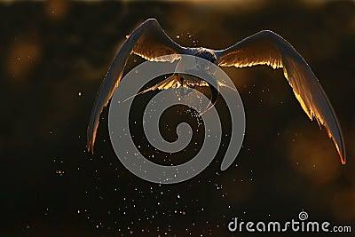 Sandwich Tern (Thalasseus sandvicensis ).