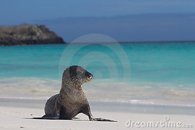 Sandy baby sea lion beach