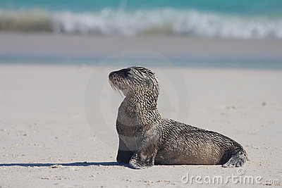 Sandy baby sea lion pose