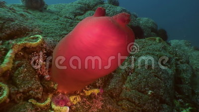 Sandy Red Seabed With Colorful pulisce il mare con una spugna di Giappone stock footage