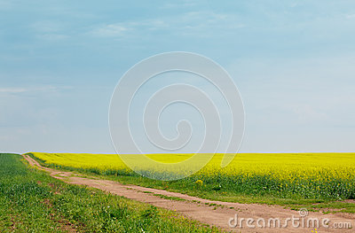 Sandy road among fields of flowering rapeseed