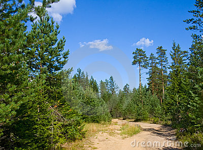 Sandy road in pine tree forest