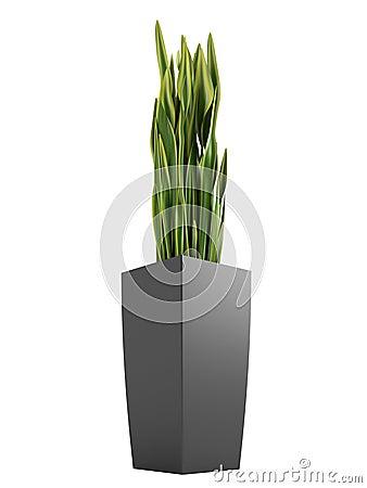 Sansevieria trifasciata, the snake plant